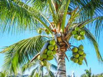 Close up of a palm tree with its coconuts with a beautiful blue sky background royalty free stock photo