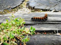 Beautiful nature. Picture of caterpillar that is going to turn into butterfly Stock Images