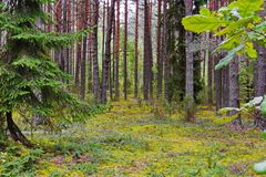 Beautiful nature in a pine forest with a green carpet of moss carpeting the earth between the trees. For your design stock photo