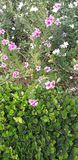 Beautiful nature pink white flower this park royalty free stock images