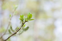Beautiful nature plant with young fresh green leaves. Springtime in park landscape. Macro view shallow depth of field. Selective focus. copy space Royalty Free Stock Photography