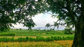 Nature Rice Fields Landscape. Beautiful nature rice fields landscape Royalty Free Stock Images