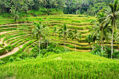 Rice terrace of Bali Island, Indonesia Stock Photography