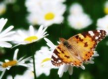 Beautiful nature scene. Butterfly on daisy flower stock image