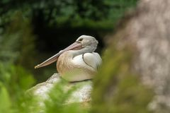 Resting pelecanus Royalty Free Stock Photography