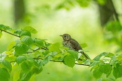 Beautiful nature scene with bird Song thrush Turdus philomelos. Wildlife shot of a bird sitting on the branch. Bird in the nature habitat Stock Photography