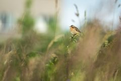 Beautiful nature scene with bird whinchat Saxicola rubetra. Stock Photography