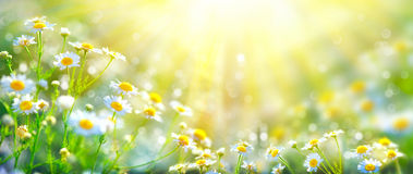 Beautiful nature scene with blooming chamomiles. In sun flares Stock Photography