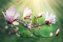 Beautiful nature scene with blooming magnolia stock image