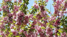 Blooming pink sakura tree branch. Cherry sakura spring flowers. Beautiful nature scene with blooming pink sakura tree branch. Japanese garden, spring sunny day stock footage