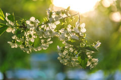 Beautiful nature scene with blooming tree Stock Images