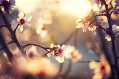 Beautiful nature scene with blooming tree. And sun flare Royalty Free Stock Images