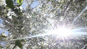 Beautiful nature scene with blooming tree and sun flare. Spring blossom background. Beautiful nature scene with blooming tree and sun flare. Sunny day. Spring stock video footage