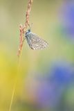 Beautiful nature scene with butterfly Common blue Polyommatus icarus.