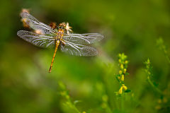 Beautiful nature scene with butterfly Common Darter, Sympetrum striolatum. Macro picture of dragonfly on the leave. Dragonfly in. Forest stock photos