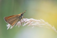 Beautiful nature scene with butterfly Essex skipper Thymelicus lineola. Macro shot of butterfly on the grass. Butterfly in the nature habitat Royalty Free Stock Photos