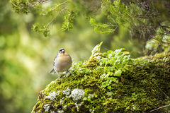 Beautiful Nature Scene with Chaffinch Bird. Fringilla Coelebs on Green Background royalty free stock image