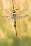 Beautiful nature scene with dragonfly Black-tailed skimmer Orthetrum cancellatum. Stock Images