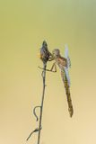 Beautiful nature scene with dragonfly Keeled skimmer Orthetrum coerulescens. Royalty Free Stock Photos
