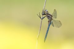 Beautiful nature scene with dragonfly Keeled skimmer Orthetrum coerulescens. Royalty Free Stock Images
