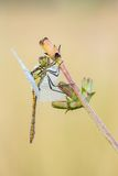 Beautiful nature scene with dragonfly Vagrant darter Sympetrum vulgatum. Stock Image