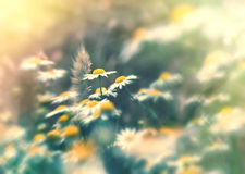 Beautiful nature - soft focus on wheat and daisy flowers Stock Image