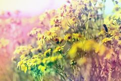 Beautiful nature in spring  - flowering meadow. Beautiful nature in spring, meadow flower yellow flowers Stock Photos