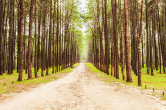 Beautiful nature in the strong pine forest Royalty Free Stock Image