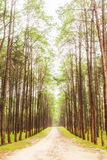 Beautiful nature in the strong pine forest Royalty Free Stock Photography