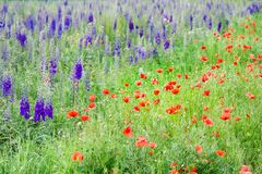 Beautiful nature, summertime. Field with purple delphinium flowers and poppies. Beautiful nature, summertime. Field with purple delphinium flowers and red stock photos