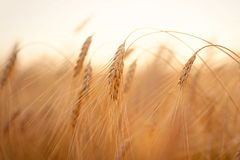 Beautiful nature sunset landscape. Ears of golden wheat close up. Rural scene under sunlight. Summer background of Royalty Free Stock Photography