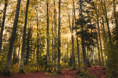 Beautiful nature at sunset in the misty autumn forest with sun Royalty Free Stock Photography