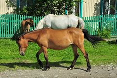 Horses in the village royalty free stock photos