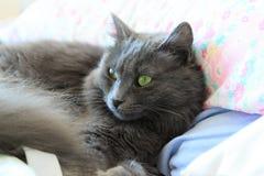 Beautiful nebelung cat stock photo