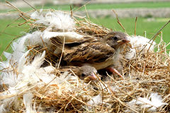 Beautiful nest. Two beautiful Brown break birds on the nest royalty free stock images