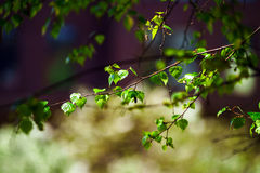 Beautiful new birch leaves at april Stock Photo