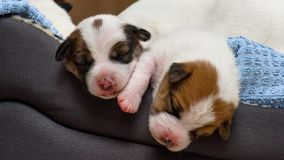 Beautiful new born jack russel terrier puppies, sleep sweetly in a downy bed. Blur background and a small depth of field. Stock Images