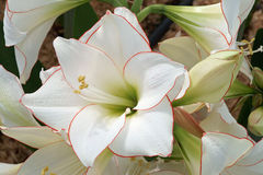 Beautiful new variety of the amaryllis flowers: white with red e Royalty Free Stock Photography