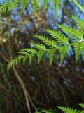Elegant, Delicate New Zealand Fern stock photography