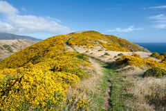 Beautiful New Zealand landscape. Mountains covered by yellow flowers (Gorse - Ulex europaeus). East Harbour Regional Park, Wellington Stock Image