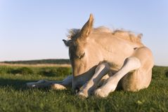 Beautiful newborn foal Stock Photos
