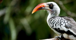 A beautiful nice Southern Yellow billed Hornbill royalty free stock photos