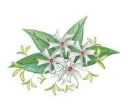 Beautiful Night Blooming Jasmine on White Background. Beautiful Flower, Bunch of White Tuberose Flowers or Night Blooming Jasmine with Green Leaves Isolated on A Stock Photo