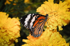 Beautiful night butterfly. Royalty Free Stock Photography
