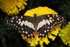 Beautiful night butterfly. Stock Image