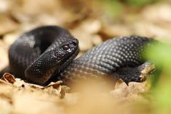 Beautiful nikolsky viper preparing to bite Stock Image