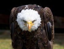 Beautiful north american bald eagle stock image