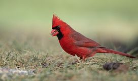 Northern Cardinal Perched on a Branch. Beautiful Northern Cardinal Perched on a Branch stock photos