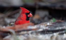 Northern Cardinal Perched on a Branch. Beautiful Northern Cardinal Perched on a Branch stock image
