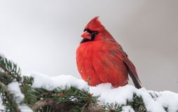 Northern Cardinal Perched on a Branch. Beautiful Northern Cardinal Perched on a Branch royalty free stock photography